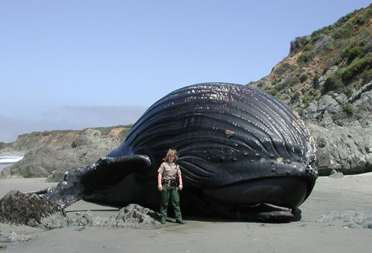 Park Ranger Linda Rath standing next to dead, beached Humpback whale.