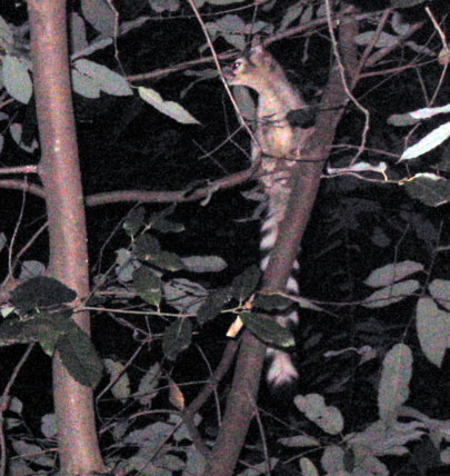 Ringtailed Cat in a tree