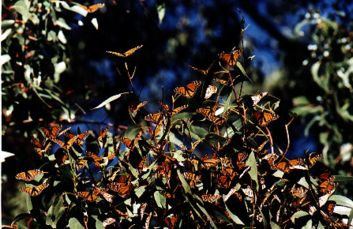 Monarch Butterflies at Andrew Molera State Park, photo Stan Russell