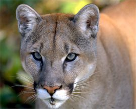 Mountain lion face - photo#24