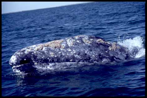 California Gray Whale off the central California coast