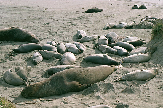 Elephant Seal S And Pups On The Beach